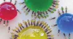 The ants whose multi-coloured abdomens show exactly what they've been eating