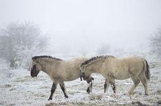 Heck horses