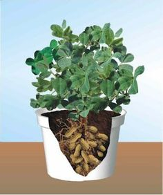 Growing peanuts in containers. Also a great sight for other planting tips.