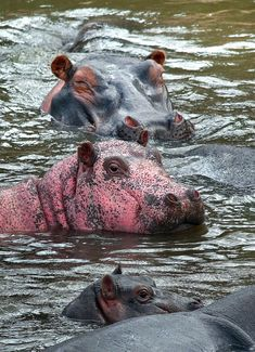 One of these hippos does not look like the others. A rare pink hippopotamus was spotted bathing in Kenya's Masai Mara National Reserve by a French couple, according to Caters News Agency. The hippo. Unusual Animals, Majestic Animals, Rare Animals, Animals Beautiful, Animals And Pets, Pink Animals, Cute Baby Animals, Fairytale Creatures, Cute Hippo