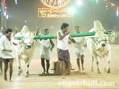 Ongole bull Competitions photos