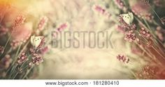 White butterfly on lavender flower - selective focus on butterflies on lavender lit by sunlight White Butterfly, Lavender Flowers, Sunlight, Illustration, Butterflies, Rose, Image, Pictures, Projects