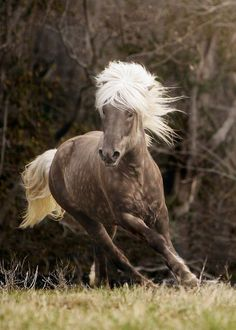 icelandic horse- the most beautiful horses in the world