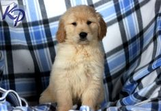 Coleman – Golden Retriever Puppies for Sale in PA | Keystone Puppies