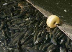 9 Surprising Fish Farming Facts (PHOTOS)