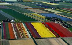 Lindos e coloridos campos de cultivo de tulipa na Holanda 1x1.trans