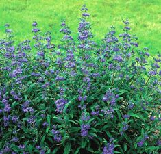 'Petit Bleu' blue-mist shrub is only 24 to 30 inches tall. Against the dark green, aromatic foliage, the dark blue flowers look almost fluorescent. You can expect a dazzling floral display from late summer through fall. 'Petit Bleu' grows in average garden soil in full sun. Best to mulch in winter.