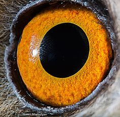 Long-eared-owl macro eye closeup by Suren Manvelyan