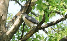 Japanese Sparrowhawk (Accipiter gularis gularis)