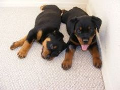 Secret Strategies for Potty Training Your Puppy --- House training a new dog can be a struggle. What do you think of these pet training tips? --- The Humane Society of Fremont County has cared for the residents and pets of Canon City and the surrounding areas of Colorado since 1951. http://www.canoncityhumanesociety.org/