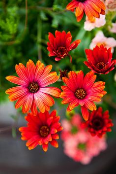 Red flowers in Palmer, Alaska..luv the picture. Can anyone tell me the name of the flower ? Is it  Daisy  ?