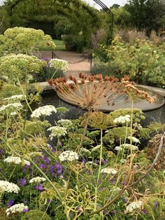 Ammi majus (bishop's flower, false bishop's weed, bullwort, greater ammi, lady's lace) form a white cloud. Larger, more prolific plants result from an autumn sowing.