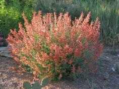 "Sep 8, via http://prairiebreak.blogspot.com/2015/03/kendrick-lake.html ""Agastache (aurantiaca hyb.)"""