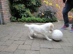 Unsere Parson Russell Terrier Hündin beim Spiel