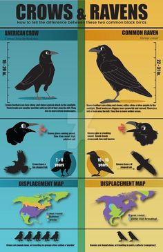 Guide to crows vs ravens : crowbro Raven Feather, Raven Art, Crow Facts, Crow Spirit Animal, Black Bird Tattoo, Black Crow Tattoos, Raven Pictures, Crows Drawing, Funny Animals