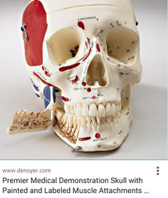 Head and Neck Anatomy Skull Painting Project: Part 3 TMJ   Head ...
