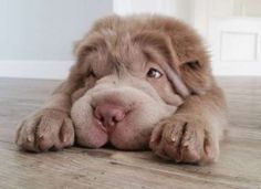 Tonkey, a fluffy, bear-coat Shar-Pei puppy from Edmonton, Alberta, is only four months old but alrea... - INSTAGRAM