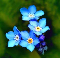 Forget Me Nots are so pretty!
