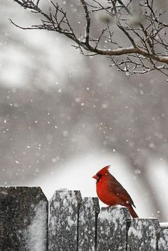 "Boss ( my grandmother) loved ""red birds"" cardinals especially in December she was a Christmas baby!"