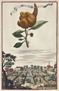 Johann Christoph Volckamer (1662-1744) was the rich heir of a family silk factory who dedicated his time to growing lemons & oranges in a greenhouse in his large Nuremberg garden, one of the city's finest. His Nürnbergische Hesperides was a scientific catalog of his collection, & is regarded as one of the most beautiful works on botany of the Baroque period. Expertly drawn, engraved & colored, the illustrations therein depict the fruit gracefully afloat in the air above quaint scenes