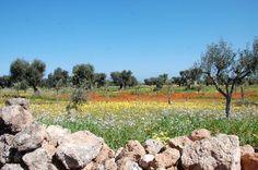 Ostuni, Puglia, olive groves, southern Italy
