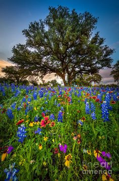 Wildflower Tree Texas The post Wildflower Tree appeared first on Fotografie. Flowers Nature, Wild Flowers, Beautiful Flowers, Beautiful World, Beautiful Places, Beautiful Pictures, Cool Landscapes, Beautiful Landscapes, Champs