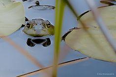 Michigan J. Frog by Ron Warren, Photographer  https://sites.google.com/site/ronwarrenphotography/home