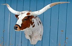 Longhorn shoulder mount - why help hunt animals to extinction of you can have one of these bad boys on your wall?