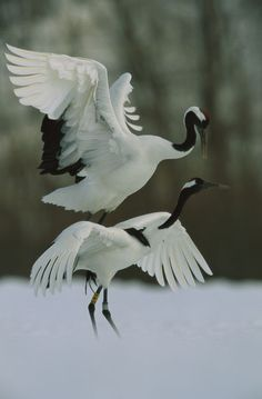 A male Japanese or red-crowned crane mounts his mate. Hokkaido, Japan