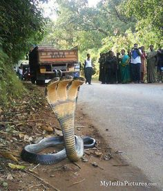 Google+ Photo:Sanka Umesh   Three face cobra...