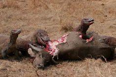 Komodo Dragons Eating Wild Buffalo