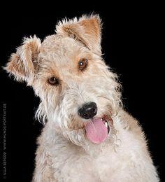 Krümel, Foxterrier #Hund #dog #widPet  http://www.wid-pet.com #widPet - Hundemarken mit QR-Code