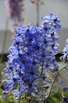 Larkspur (Delphinium Delft Blue)