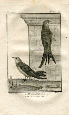 1803 Buffon Birds Print Sand Martin and Common by CarambasVintage