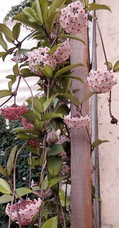 Hoya carnosa I have this plant!!! It only smells at night but it's strong and sweet, I recomend it, lots of water every day