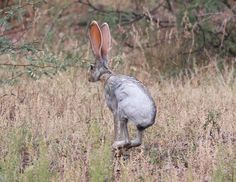 #Thrusdaymorning comes with surprise with #animaltracking here we share a #photo of #AntelopeJackrabbit capture by #wildlifephotographer share lovely #photos like this with a unique #mobileapp that shares the location where you have located #animal or #bird #downloadtheapp & increase your #wildlife experience. #thursdaymorning #thursdaythoughts #rabbit #photography