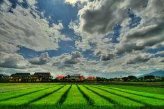 chiangmai rice paddies