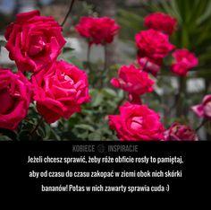 Jeżeli chcesz sprawić, żeby róże obficie rosły to pamiętaj, aby od czasu do czasu zakopać w ziemi obok nich skórki ...