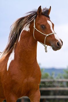 This stallion is Griffin. He's a Arabian paint stallion. He is a very determined stallion. He has no mate but would like one. Horses And Dogs, Cute Horses, Horse Love, Wild Horses, Most Beautiful Animals, Beautiful Horses, Beautiful Creatures, Beautiful Dragon, Majestic Horse