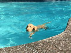 My standard poodle loves to swim!