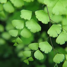 Maidenhair fern-- for my accent greenery... The leaves are so delicate and the stems cascade so gracefully.