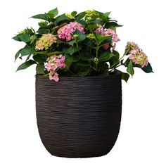 Hortensia (Incl. Capi Pot) - Hydrangea Macrophylla Bouquet Rose Hydrangea Potted, Hydrangea Macrophylla, Rose Bouquet, Planter Pots, Hydrangeas