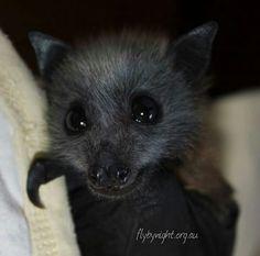 Animals And Pets, Baby Animals, Cute Animals, Bat Species, Bat Flying, Baby Bats, Fruit Bat, Cute Bat, Creatures Of The Night