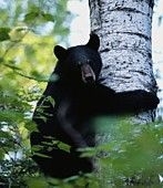 http://animalrights.about.com/od/wildlife/a/BlackBears.htm