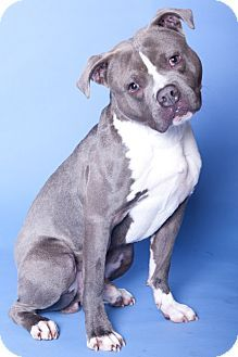 Pictures of Tego a American Pit Bull Terrier for adoption in Chicago, IL who needs a loving home.