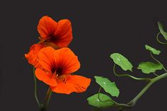 """Lovely nasturtium - an edible annual. This flowers means """"patriotism. Good Luck To You, Finding God, Watercolor Effects, Bloom, Sun, Orange, Board, Garden, Flowers"""