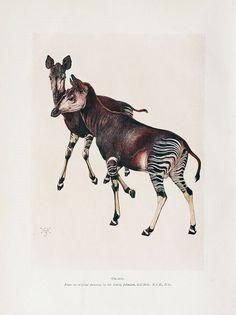 Okapis -- 'Animal Life & The World Of Nature' -- -- Biodiversity Heritage Library Engraving Illustration, Antique Illustration, Nature Illustration, Botanical Illustration, Street Art, Animal Sketches, African Animals, Science Art, Fauna