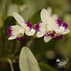 Lc Nice Holiday grower with striking splash colors. Wonderful sweet fragrance, and usually blooming for the Thanksgiving and Christmas holiday season! Hence its name. Meet her at Entre Flores Tour.