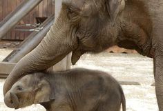 Baby Asian elephant at Ostrava's Zoo in the Czech Republic