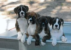 boxers. I want a boxer puppy sooooooooo bad I could scream!!!!!!!!!!!!!!!!!